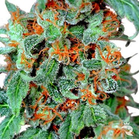 Dutch Passion Orange Bud Feminized thumbnail