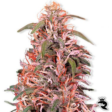 Skunk Passion Feminized