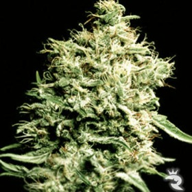 Green House Seeds White Rhino thumbnail