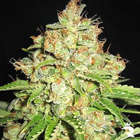 Automatic White Russian Seeds thumbnail