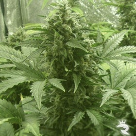 Buddha Seeds White Dwarf Feminized thumbnail