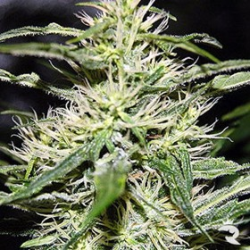 Dutch Quality Seeds Jack Herer Feminised thumbnail