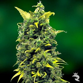Barneys Farm Blue Cheese Seeds thumbnail