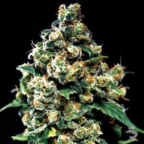 Green House Seeds Jack Herer thumbnail