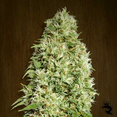 Orient Express Feminized