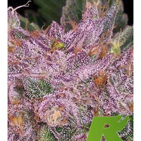 Grape Kush thumbnail