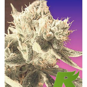 Easy Rider Feminized thumbnail
