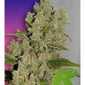 White Widow Feminized thumbnail