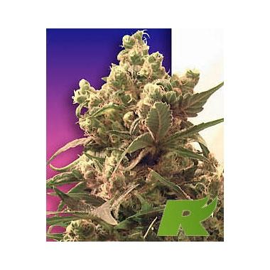 Purple Feminized