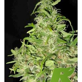 Black Honey Haze Feminized thumbnail
