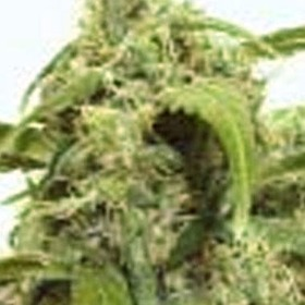 Auto Assassin Feminized thumbnail