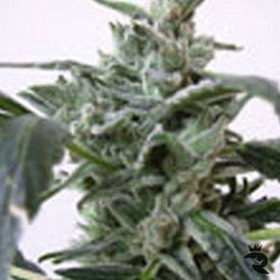 Short Stuff Seeds Blue Himalaya Feminized thumbnail