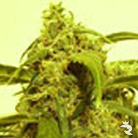 Russian Rocket Fuel Feminized thumbnail