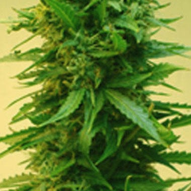Short Stuff Seeds Onyx Feminized