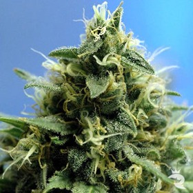 Sativa Seeds New York Power Diesel thumbnail