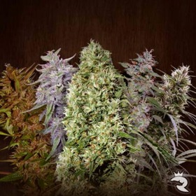 Ace Seeds Feminized Mix thumbnail