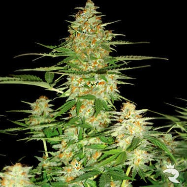 60 Day Wonder Feminized Cannabis Seeds