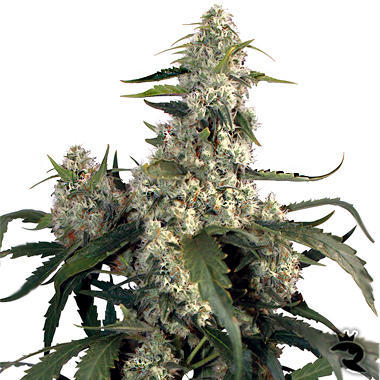 weed buddhist personals One of the first lessons a marijuana enthusiast learns is to purge a grow  dobbs , and jessika villano of buddha barn medicinal cannabis.