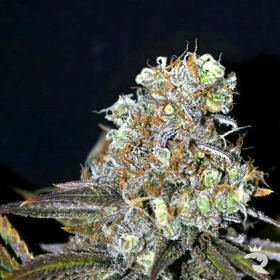 CBD Critical Mass Feminized