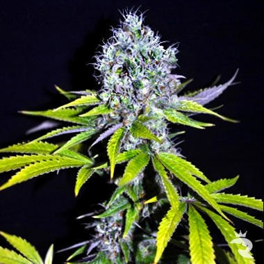 CBD Yummy Feminized