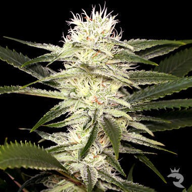 Original Amnesia Feminized
