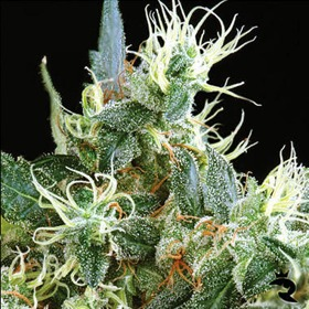 Green House Seeds Northern Lights Auto thumbnail