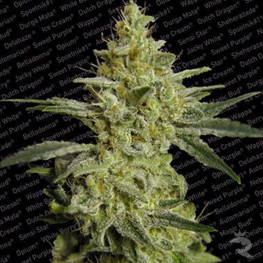 Allkush Feminized