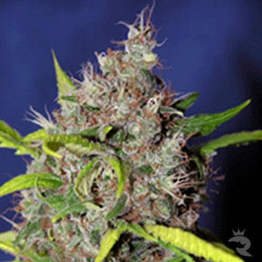 Blueberry Bud Feminized