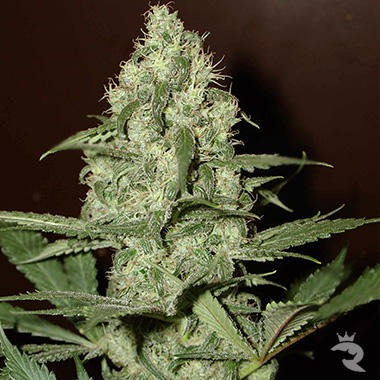 Homegrown Cheese Feminized