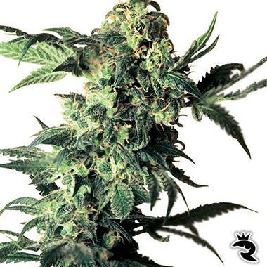 Northern Lights Feminized