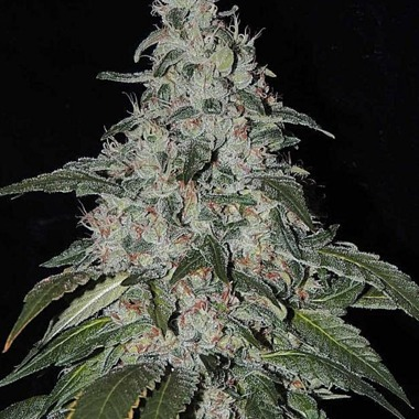 StrawBanana Cream Regular Seeds