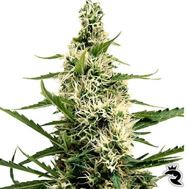Swazi Skunk Seeds