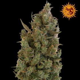 Barneys Farm Blue Cheese Feminized