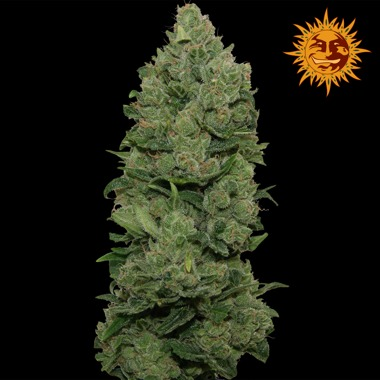 Top Dawg Feminized