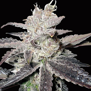 Freeze Berry Auto